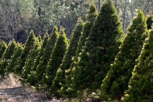 Christmas trees growing in rows