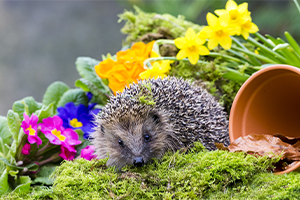 A hedgehog sitting on a mossy log, surrounded by a plant pot and colourful flowers
