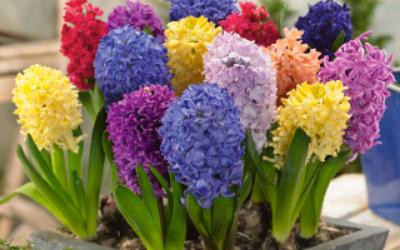 Hyacinth plants