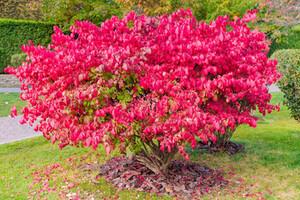 Euonymus alatus tree