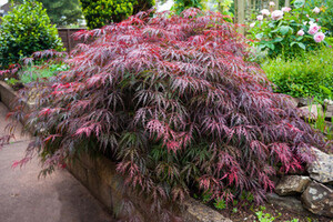Garden plant with red leaves