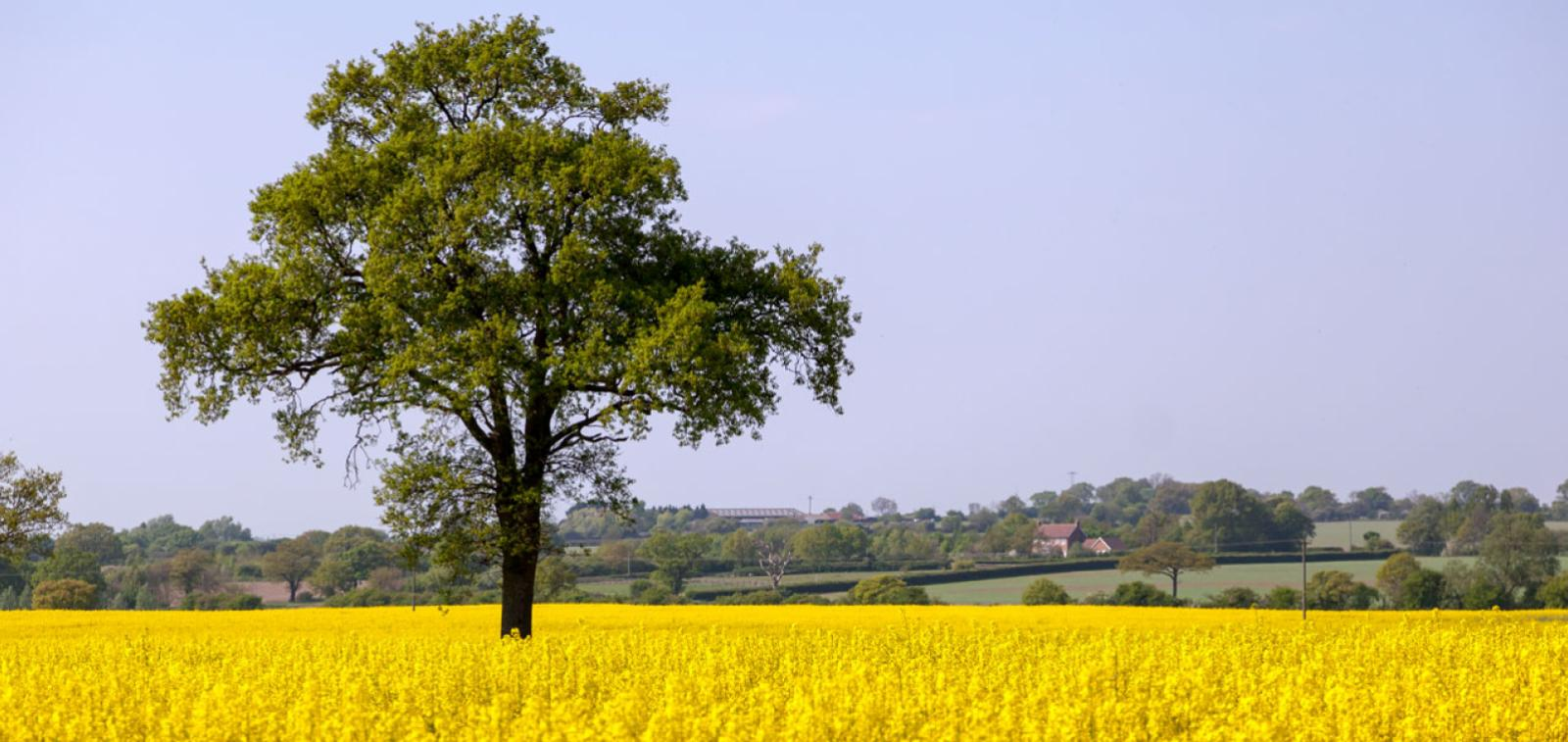 A tree in a field in the Essex countryside.