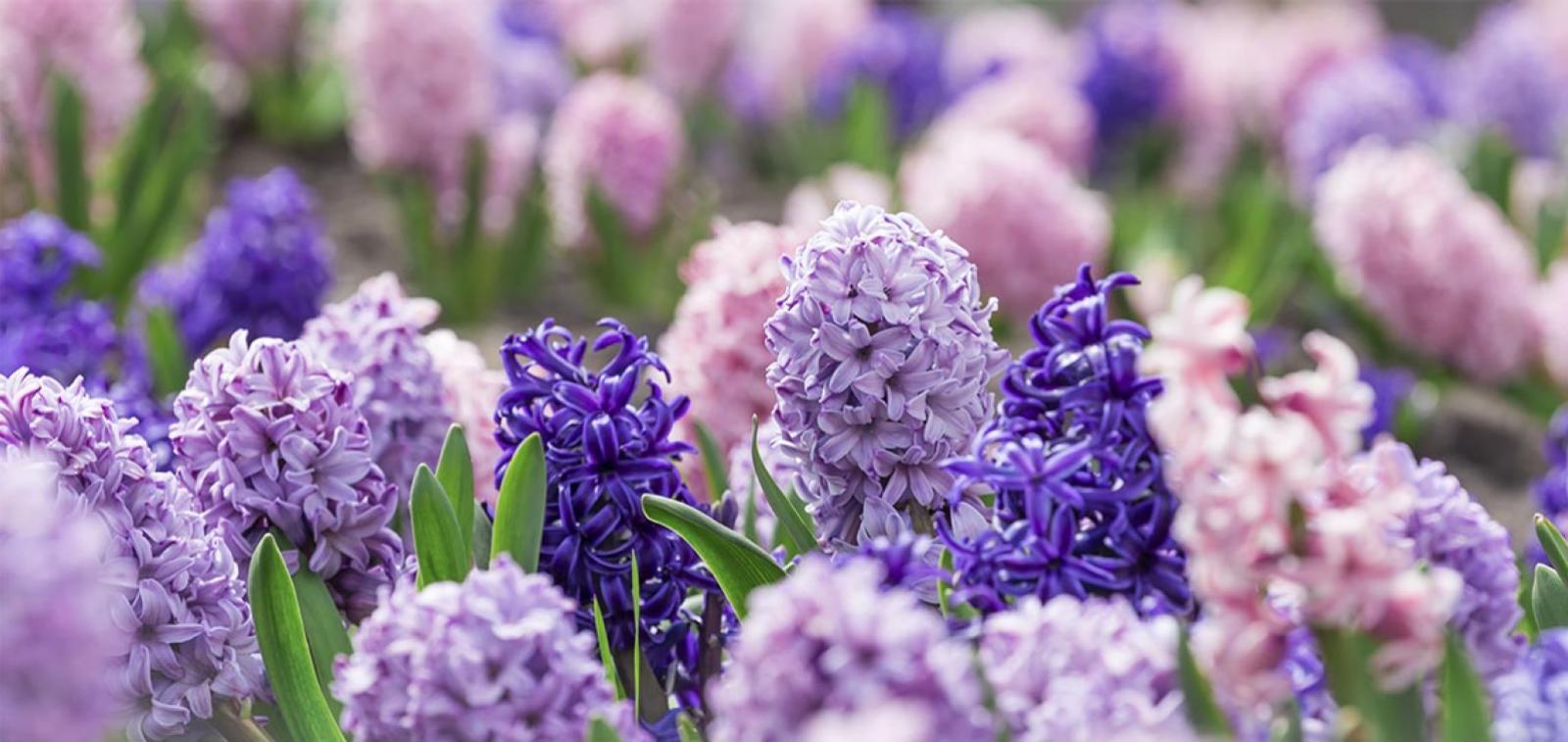Selection of Hyacinth plants