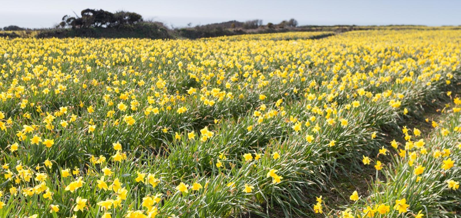 Field of daffodils